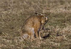 720 brown hare IMG_6175