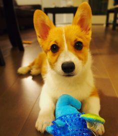 2주 leelastagramFound a bunch of photos when Leela was a wittle baby! #throwbackthursday #corgiplanet #corgilove #corgilife #corgiaddict #leelathecorgi  #corgstagram #corgtacular #welshcorgi #pembrokewelshcorgi #puppy #puppies #cute #cuteness #cutenessoverload #dog #dogs #instagramcorgis #corgisofinstagram #dogsofinstagram #dogstagram #shortlegs #코기스타그렘 #개스타그렘 #웰시코기 #강아지 #コーギー #子犬 #柯基犬 #小狗