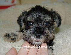 adorable mini schnauzer puppies