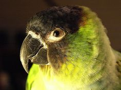 A photo of a Nanday Conure that my wife rescued from certain death from the cold. Parakeets, Parrots, Nanday Conure, Make Me Smile, Guy, Death, Cold, Tattoos, Amazing