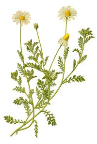 Google Image Result for http://willowgrovemagick.com/images/chamomile.gif