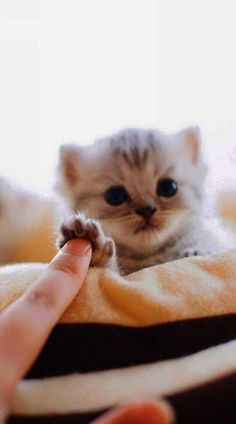 Cute Kittens For Sale Cheap Cute Cats And Kittens Doing Funny Things Cute Cats And Kittens, Kittens Cutest, Pet Cats, Kitty Cats, Baby Kitty, Cutest Puppy, Ragdoll Kittens, Kitten Meowing, Feral Cats