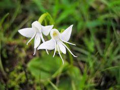 Habenaria Grandifloriformis, l'orchidea angelo.