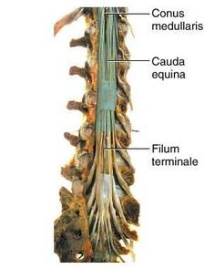 60 Tiny Little Structures Us Ideas Anatomy And Physiology Brain Anatomy Neurology Filum terminale or terminal thread is a fragile fibrous tissue strand which is the longitudinal support of the spinal cord. anatomy and physiology brain anatomy