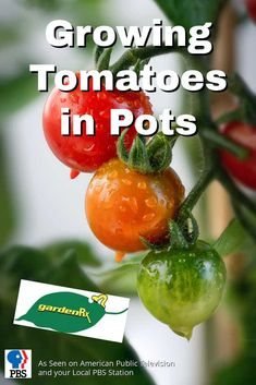 Growing tomatoes in pots is easy, anyone can do it. Anywhere you have a sunny spot, whether it's a condo, driveway, balcony, rooftop or a fire escape, you can have a patio garden.