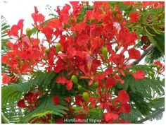 Delonix regia is a species of flowering plant from the Fabaceae family, Caesalpinioideae subfamilia, noted for its fern-like leaves and flamboyant display of flowers.