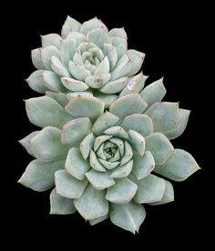 Echeveria 'Californica Queen'