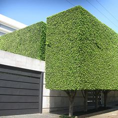 """Well, it did not take long before we knew the source of the """"Ficus Benjamina Landscaping"""" from a few postings ago. Garden Hedges, Topiary Garden, Modern Landscaping, Front Yard Landscaping, Ficus Hedge, Garden Landscape Design, Garden Planning, Garden Inspiration, Beautiful Gardens"""