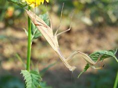 Imádkozó sáska 008. Natural Beauty, Nature, Plants, Naturaleza, Plant, Natural, Raw Beauty, Planting, Scenery