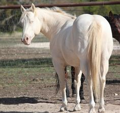 Quarter Horse Mare For Sale in Texas