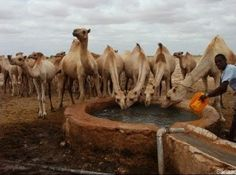Somalia Camels at a watering point