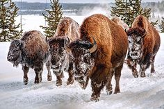 Robert B. Green, 2011 Runner Up Bison, Yellowstone National Park, Wyoming, USA
