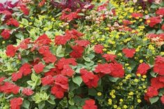 As companion plants, the dense foliage of impatiens can keep the soil moist and cool for its companions. Learn more about what to grow alongside impatiens plants using the information from this article. Types Of Flowers, Red Flowers, Container Gardening, Gardening Tips, Easiest Flowers To Grow, Landscape Design, Garden Design, Companion Gardening, Permaculture