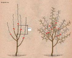 обрезка яблони на 2 год Farm Gardens, Fruit Trees, Bonsai, Vegetables, Painting, Vegetable Gardening, Garden, Lawn And Garden, Painting Art