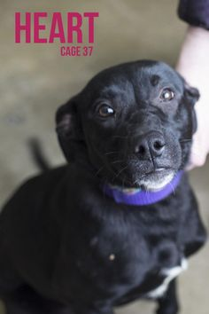 Picked up 3/11.  Available 3/15.   Heart, a young dog we thought would get adopted on her release, but sadly she is still waiting.  This young girl is not only pretty, but she is friendly, eager to learn...already sits when asked to, playful, and...