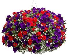 Fire Works is a sun container or hanging basket recipe with full instructions. This recipe uses Petunia, Lobelia and Verbena. Fire Works Sun Container Recipe