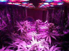 Full Spectrum Led Lights For Medical Plants Growing From Seeding To Harvest.