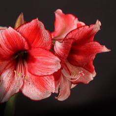 Certi Amaryllis Stardust, roze, gevlekte Hippeastrum, Certi #Bloemen, #Planten, #webshop, #online bestellen, #rozen, #kamerplanten, #tuinplanten, #bloeiende planten, #snijbloemen, #boeketten, #verzorgingsproducten, #orchideeën