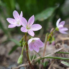 ✿ Montiaceae ✿ Claytonia Virginica