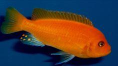 melanochromis estherae