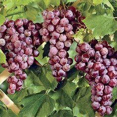 Reliance Seedless Grape