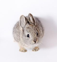 pygmy rabbit :) want!