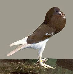 English Pouter is a breed of fancy pigeons with an enlarged crop.