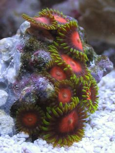 Zoanthid Corals The Zoas I can grow but they are slow!