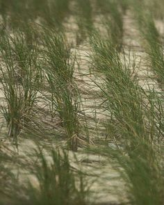 Dune grass | Eric Barnes Photography