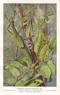 Stick insect and walking leaf original 1922 by PaperThesaurus