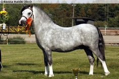 Welsh Mountain Pony (section A) - stallion Moondelight Tameron