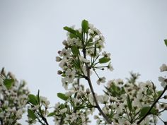 Bouquets of white flowers emerge from the crown of a flowering tree in spring.