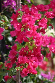 Bougainvillea ... easy to grow in the Riviera Maya!