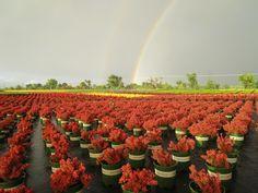 Double rainbow, double the luck. Photo taken at our Visalia, CA nursery.