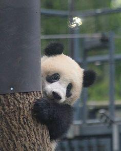 panda bear noah panda bear express near me Niedlicher Panda, Cute Panda, Cute Baby Animals, Animals And Pets, Bear Hamster, Baby Panda Bears, Panda Wallpapers, Power Animal, My Spirit Animal