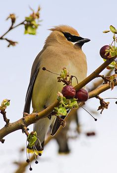 Cedar Waxwing   I still have not had the pleasure of spotting these for myself.