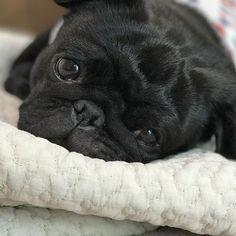 おはよ〜 . #frenchbulldog #frenchbulldogpugmix #pug #フレパグ#ミックス犬#フレンチブルドッグ #フレブル #パグ#ぶちょーと聖子#chihuahua #チワワ #いぬ #dog #pecoいぬ部#ブヒ #鼻ぺちゃ#犬 #犬バカ部#黒パグ#愛犬 #わんこ#ゴロゴロ #おはよう