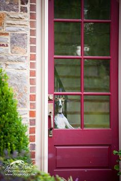 A whippet at the window - always beautiful!
