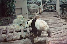 Huan Huan, Panda géant - Zoo Parc Beauval, Loir-et-Cher, France - 21 Juillet 2013