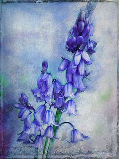 Bluebell Delight by Jacqueline Forster via Flickr. Textures by French Kiss Collections.