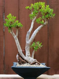 crassula ovata bonsa african bonsai baobab pinterest plantes grasses plantes et grasse. Black Bedroom Furniture Sets. Home Design Ideas