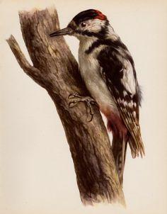 Woodpecker Bird Print Cabin Decor Bird Gallery Wall Art Bird Illustration Vintage Animal Print 1709