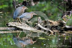 Green Herons perched on a log in a local pond