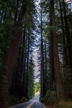 Avenue of the Giants, Humboldt Redwoods State Park, California by mikeover214