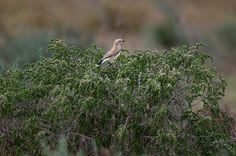 #guidofrilli - Nikon D300 + Tamron 150/600 - f5/6.3 - 1/1250 sec. f/6.3 ISO-400 600mm a 20m. - photo Guido Frilli - Sinis Desert Stagno di Mistras - culbianco (Oenanthe oenanthe (Linnaeus, 1758)) è un uccello passeriforme della famiglia dei Muscicapidi. Posatoio: Cisto villoso o Cisto rosso (Cistus incanus L., 1753) sottospecie locale Citus corsicus è un arbusto appartenente alla famiglia delle Cistaceae.