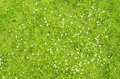Sagina subulata Scotch Moss