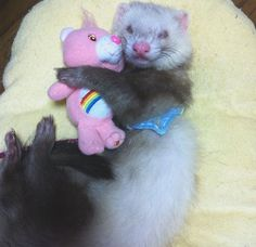 My new girlfriend. And the best thing about her is.she never talks back! Ferret Toys, Baby Ferrets, Cute Ferrets, Funny Animals, Cute Animals, Pet Car Seat, All About Animals, Animal Sketches, My Animal
