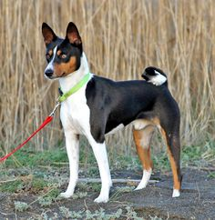 Basenji puppies are available only in the spring because the breed has only one anual reproductive cycle. Description from bestpetstoday.com. I searched for this on bing.com/images