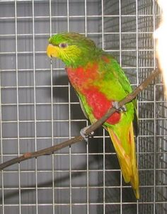 Birds Parrots Yellow-billed Lorikeet (Neopsittacus musschenbroekii) neopsittacus musschenbroekii, male