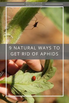 Aphids. Yuck! Every gardener is plagued with aphids at one time or another. I hit the books and researched natural, organic methods for preventing and controlling an aphid infestation. Here's what I've found. | Hillsborough Homesteading